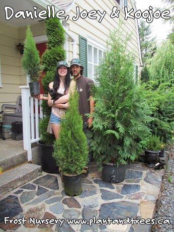 Happy Evergreen Cedars 'Excelsa' cedars grown in containers. Fast Growing Cedars for privacy hedging. Frost Nursery Vancouver, Fraser Valley