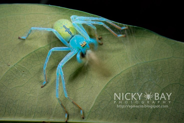 Macro Photographs of Singapore's Most Unusual Insects and Arachnids by Nicky Bay: Huntsman Spider consuming prey exposed under ultraviolet light for 20 seconds.