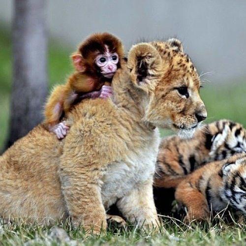 Zoo da China mostra amizade entre filhotes de tigre, leão e macaco