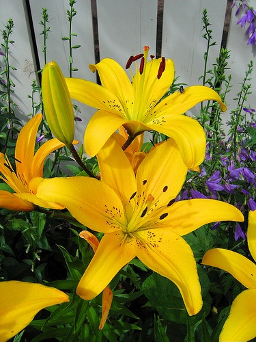 Asiatic Lily 'London'