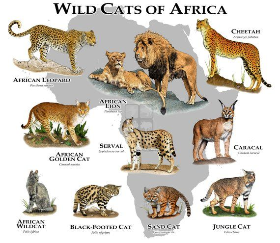 Wild Cats Of Africa Poster Print With Images Wild Cats Cat