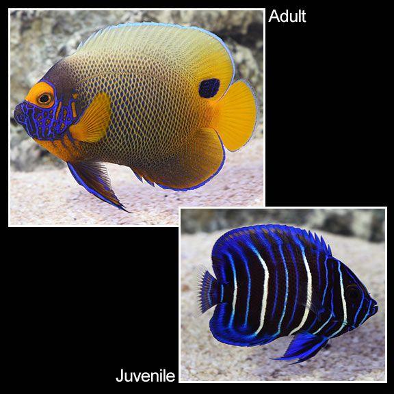 Blueface Angelfish Saltwater Aquarium Fish For Marine Aquariums In 2020 Saltwater Aquarium Fish Aquarium Fish Saltwater Aquarium