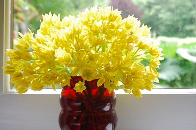 T HIS ONE SNUCK UPON ME. Allium moly, a foot-tall yellow ornamental onion, doesn't have the baseball-or-bigger heads of some [read more…]