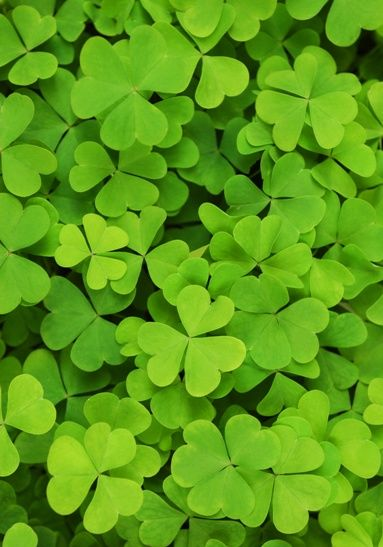 The History of the Shamrock Full of symbolism, this plant has mystical roots by…