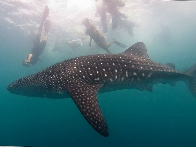 Swim with Whale Sharks, Donsol, Philippines