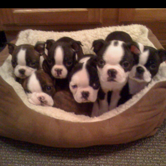 Litter #3 of Boston terrier pups. I want them all