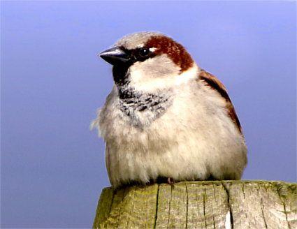 Ein kleiner flauschiger Haussperling (vulgo Spatz), der im frischen Frühlingswind auf einem Pfahl sitzt.
