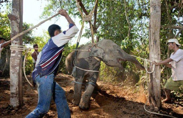The agonising blows that expose the evil secrets of Thailand's elephant tourism con: The Duchess of Cornwall's brother tells how baby elephants are brutally starved and tortured