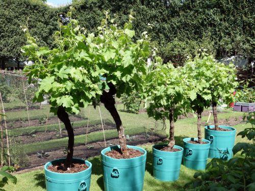Si vous n'avez pas la chance de posséder une parcelle de terrain ou même un petit jardin, n'abandonnez pas pour autant l'idée de cultiver une vigne car elle poussera très...