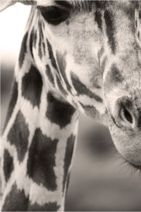 Love up close photos of giraffes and elephants. Perfect for any room in the house.