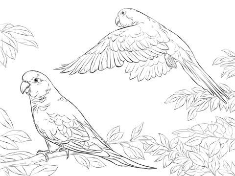 zwei mönchssittiche ausmalbild | ausmalen, ausmalbilder, vogel malvorlagen