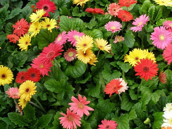 Gerbera Daisy (Gerbera Jamesonii Mix) all colors of the rainbow,Perfect for garden or container, they are always floriferous and reliable! on Etsy, $2.95