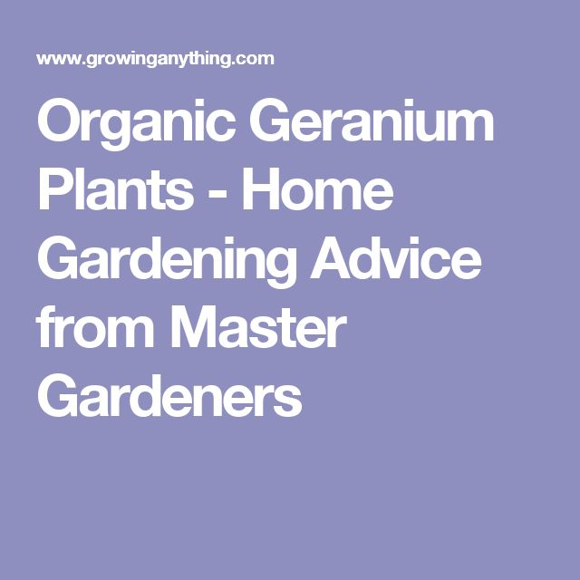 Organic Geranium Plants - Home Gardening Advice from Master Gardeners