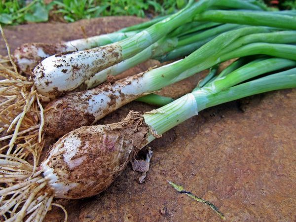 Jacob's onion noun A green onion. 1975 Purkey Madison Co 53-54 A variety of vegetables grew in long neat rows; tender green onions (called Jacob's onions), peas, beets, carrots, radishes, lettuce, beans, parsnips, tomatoes, cucumbers, and sweet and Irish potatoes....