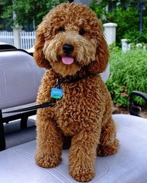 Miniature Goldendoodle Sandy Ridge - The Miniature Goldendoodle. OH. MY. GOODNESS.