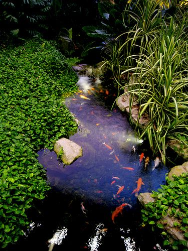 17 best images about koi pond ideas on pinterest for Koi fish pond lotus