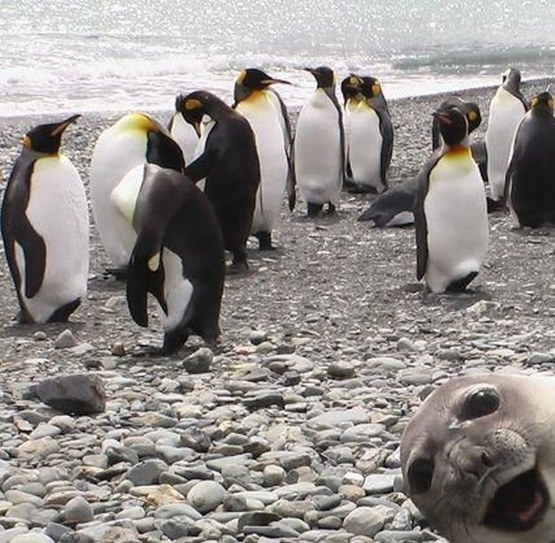 """HEEEEEYYY!!!!"": Photos, Seals, Photobomb, Animals, Funny Stuff, Smile"