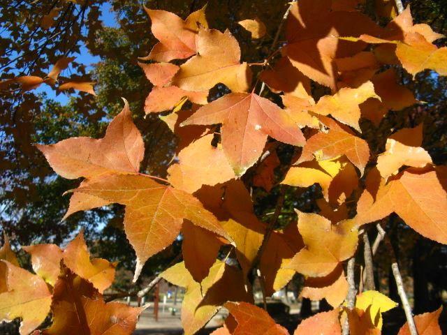 11月14日の誕生日の木は紅葉が美しい「フウ(楓)」です。 フウ科フウ属の落葉高木です。原産地は台湾、中国南部。日本へは、江戸時代中期(享保年間)に渡来しました。 フウは「楓」と書き、日本では「カエデ」を意味していますが、もともと中国ではフウのことで、カエデは「槭」という文字でした。日本に渡来した際に替わってしまったようです。別名を、サンカクバフウ(三角葉楓)、タイワンフウ(台湾楓)、イガカエデ(伊賀楓)、カモカエデ(賀茂楓)といいます。