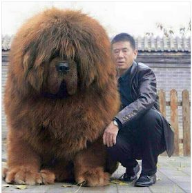 "Tri Cities On A Dime: I THINK THIS DOG HAS WOOLY MAMMOTH GENES! MAKES ONE WANT TO SAY, ""NICE DOGGIE""."