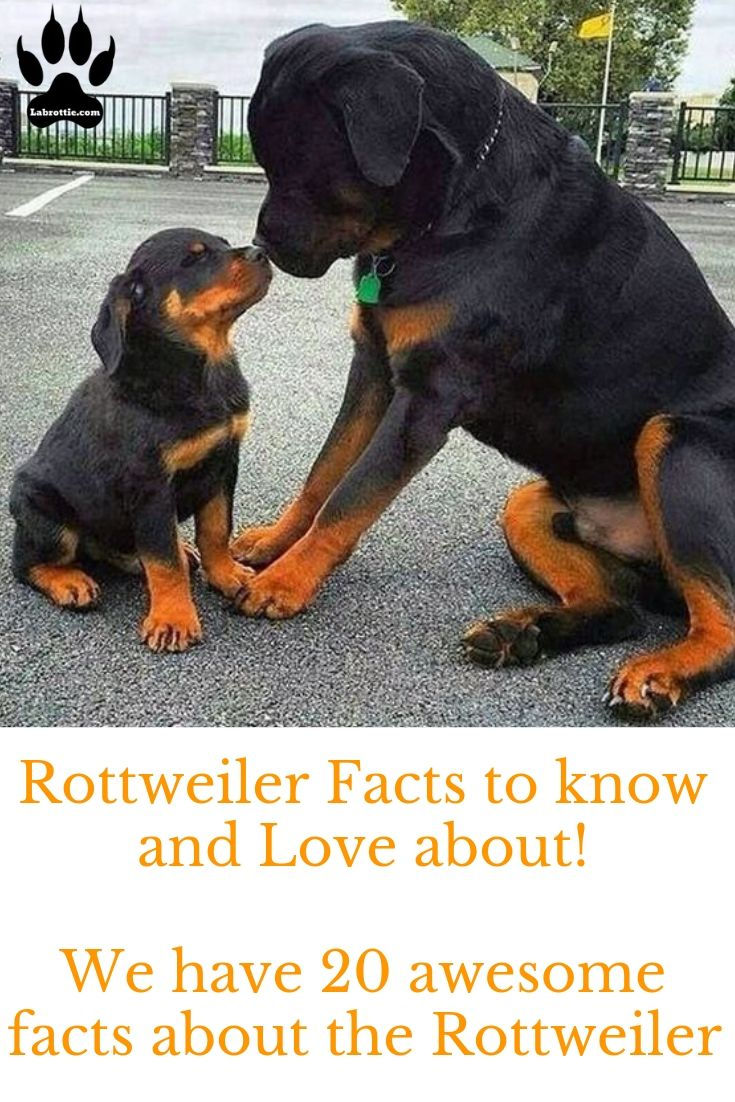 Rottweiler Facts To Know And Love Rottweiler Facts Cute Pet