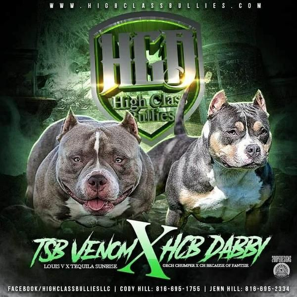 Best Extreme Build Pocket American Bully Puppies for sale. Home of BULLY KING Magazine Mascot Louis V Line's Venom, ABKC CH Lucky Lucianna & King Tyson II
