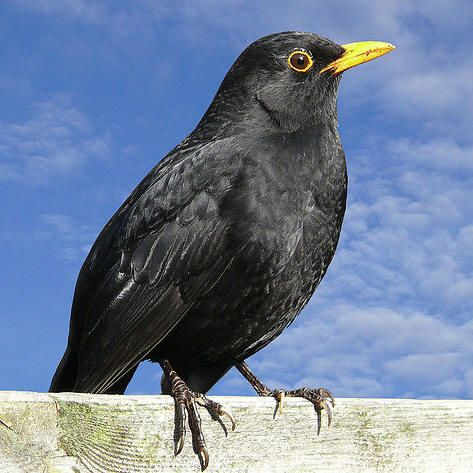 168 Best Images About Common Blackbird On Pinterest