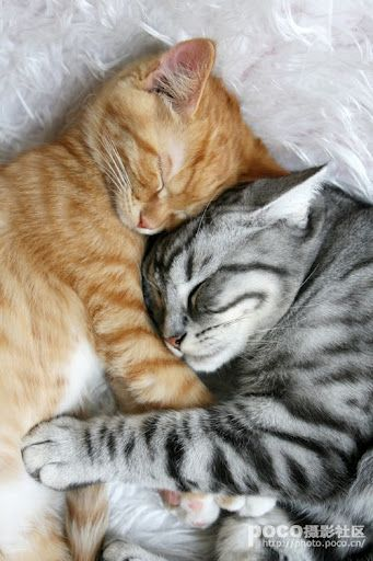 Cute ginger kitten and tabby cat.                     (KO) Snugglin'.  I'll bet the big kitty isn't nearly as happy about the twosome as the little kitty is. Little orange baby cats are truly obnoxious, but so sweet!