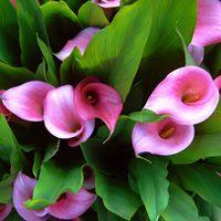 Bulbos que se plantan en primavera y florecen en verano