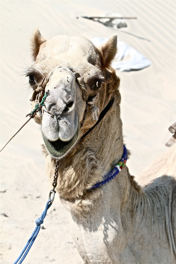 Camel in Qatar Desert... Yes I did it, riding a camel :)