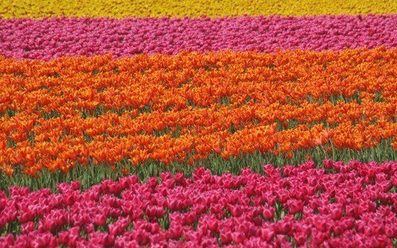 Come to Holland in mid-April to see the tulips in bloom in their peak season. Tulip season extends from the end of March to the middle of May, but mid-April usually sports the most prolific blossoms. Keukenhof in Lisse is covered by over 7000 bulbs in the spring and is one of the best places to get a good look at many different varieties of tulip.