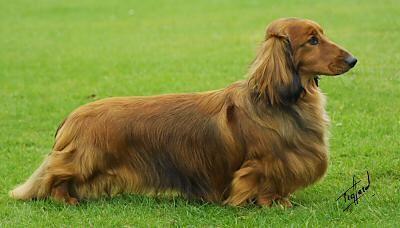 49. Dachshund | Es una raza con tres variedades principales: Suave (de pelo corto), Pelo Duro y Pelo Largo. También pueden ser miniatura (debajo de los 5 kg) o estándar. Y si tu Dachshund pesa entre 5 y 7.2 kg, se le conoce como Tweenie.
