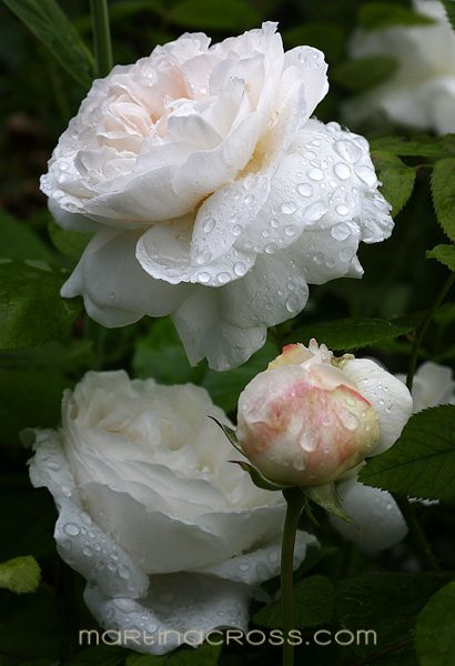 White English rose 'Winchester Cathedral'