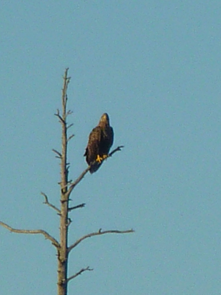 White tailed eagle, spectacular species. This individual was chased away by ravens in 5 minutes