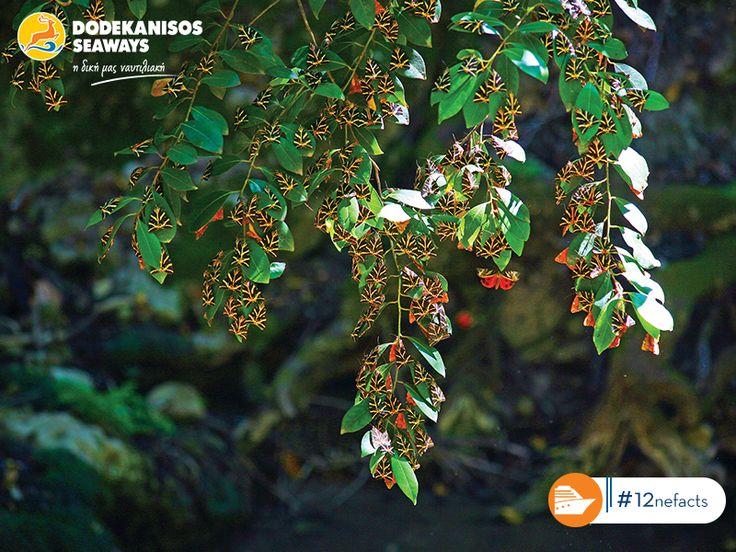 Η Κοιλάδα των Πεταλούδων στη Ρόδο είναι το μοναδικό φυσικό δάσος που προσελκύει και φιλοξενεί το είδος Panaxia Quadripunctaria, χάρη στα αρώματα που αναδίδονται από τις «ζητιές», τα σπάνια δέντρα που φυτρώνουν εκεί. Απολαύστε έναν ήρεμο περίπατο στον επίγειο παράδεισο της Ρόδου, προσέχοντας, όμως, να μην τρομάξετε τις πανέμορφες πεταλούδες!#12neFacts