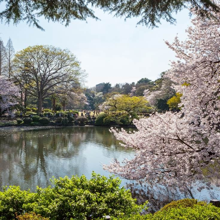 Cherry Blossom in Shinjuku Gyoen National Garden, Tokyo #Japan