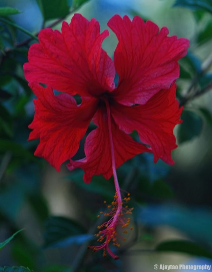 A beautiful red hibiscus - Ajaytao