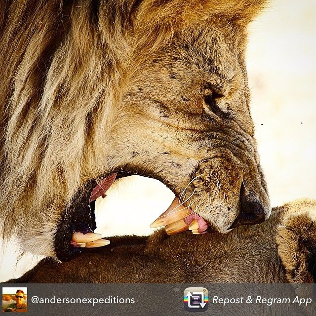 """Amazing photo of Duba Plains lions from @andersonexpeditions"""