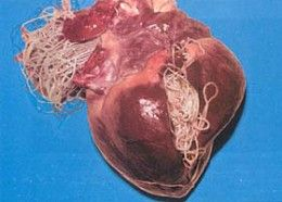 An overview of heartworm disease in dogs: causes, symptoms, prevention and treatment.