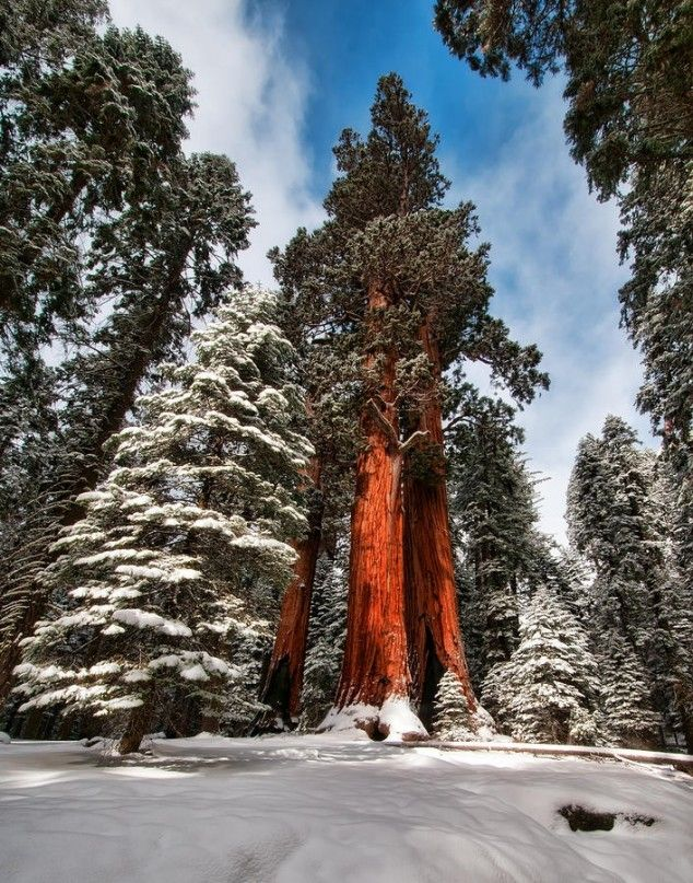 tallest tree in the world hyperion