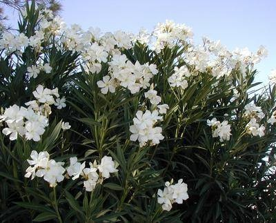 Image result for paintings and artwork blooming nerium oleander pinterest