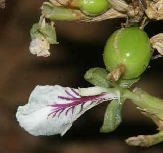 Cardamom flowerGin Penhaligons, Enigmatic Bright, London, Indian Vegetable Growing, Juniper Sling, Dry Gin, Bright Young, Cardamon Flower, Cardamom Flower