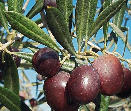 sugar in fruit healthy olive vegetable or fruit