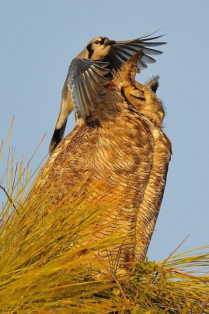 1343 best Owls / Eulen images on Pinterest | Barn owls ...