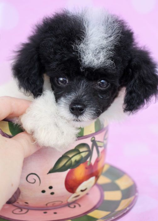 Toy Poodle Puppy by TeaCups, Puppies & Boutique