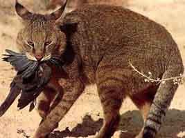 """The Jungle Cat, despite its name, is not strongly associated with the classic rainforest """"jungle"""" habitat, but rather with wetlands, habitats with water and dense vegetative cover, especially reed swamps, marsh, and littoral and riparian environments. Hence its other common and more applicable name, the swamp cat."""