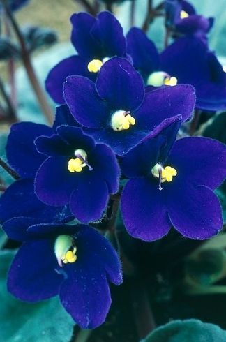 Vermont African Violet | 17 Incredible Houseplants You Need Right Now