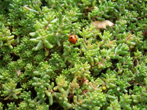 A little red ladybird