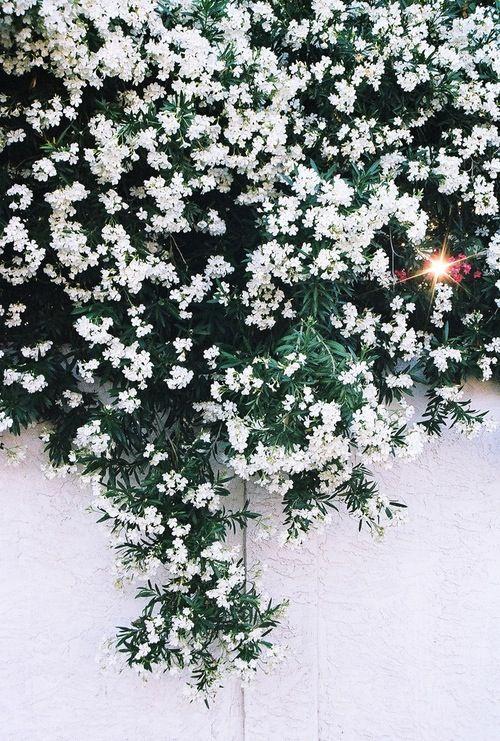 White trailing flowers