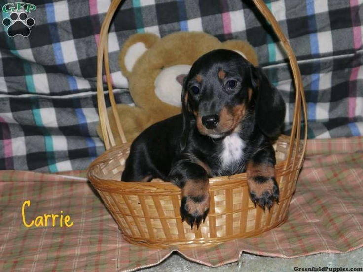 Carrie, dachshund puppy for sale from Lewisburg, PA