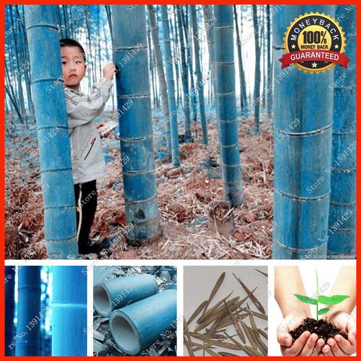 200+ Rare Blue Bamboo Seeds, Decorative Garden - Discounts - Free Shipping